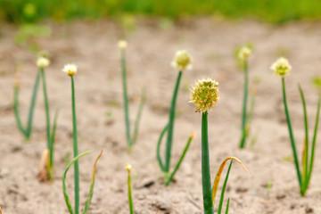 Flowering garlic. Closeup.