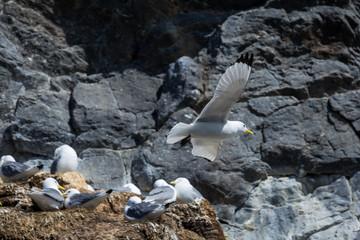 Aves en Harstad, Noruega