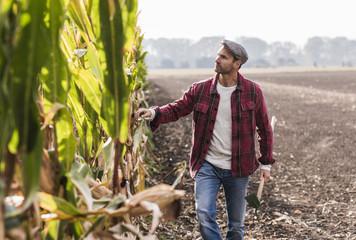 Farmer walking along cornfield examining maize plants