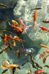 suda yüzen japon balılkları