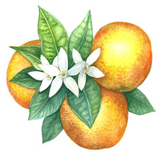 Fruit of an orange in watercolor.