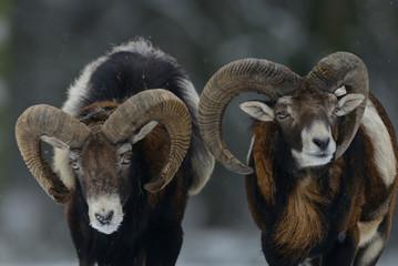 Muffelwild Widder im Winter, Mufflon, (Ovis aries)