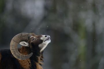 Muffelwild Widder bei Schneefall, Winter, Mufflon, (Ovis aries)