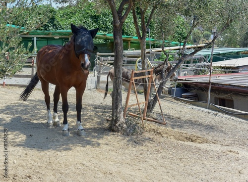 Cavallo con paraocchi