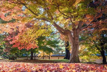 Beautiful nature colourful tree leaves in autumn season in Kyoto,Japan.