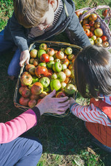Closeup of happy children and senior woman putting fresh organic apples inside of wicker baskets with fruit harvest. Family leisure time concept.