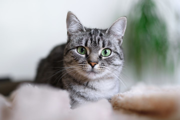 Beautiful American Shorthair cat with green eyes. Part1.