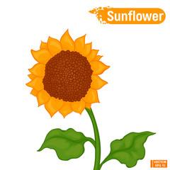 Yellow flower of a sunflower