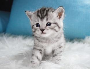 Cute kitten tabby color. Kitten on a white blue background