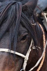 Head of Mongolian horse