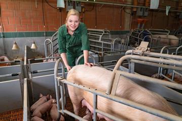 Schweinezucht - junge Bäuerin misst Fieber bei einer Muttersau