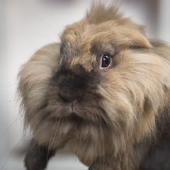 Closeup portrait of a pretty decorative rabbit