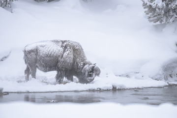 Snow Covered Bison - Yellowstone National Park