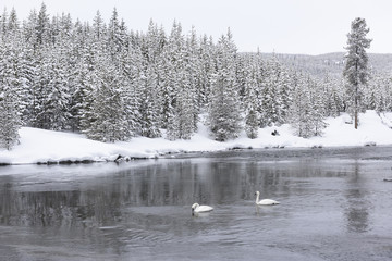 Two Trumpeter Swans during Winter in Yellowstone