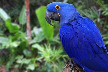 Bright Blue Hyacinth Macaw