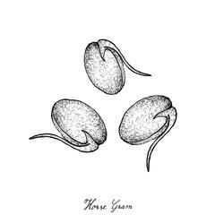 Hand Drawn of Horse Gram or Kulthi