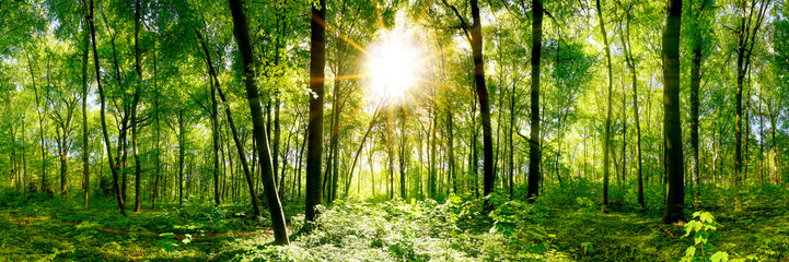 Wall Mural - Forest panorama with green trees and bright sun