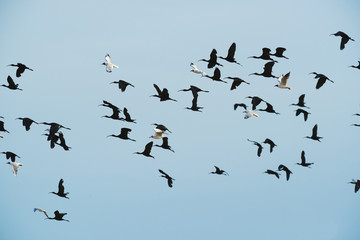 Birds flock, background