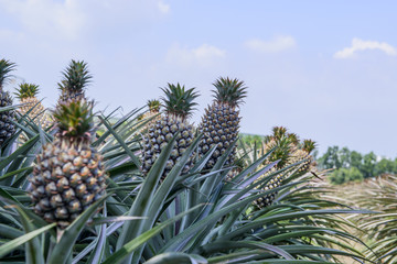 Rows of pineapple plants with fruit