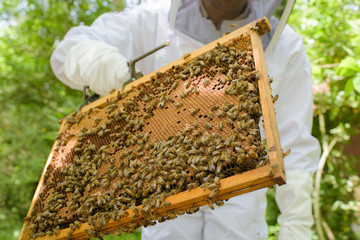 Swarm of bees on frame