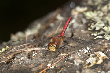 Meadowhawk dragonfly with a red abdomen in Sunapee, New Hampshire.
