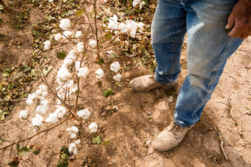 Farmer's Feet Boots Brown Dirt Cotton Plants Bolls Harvest Ready