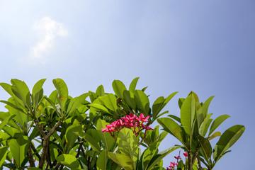 Plumeria (frangipani) tree blossoming
