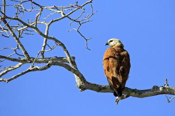 Black-collared Hawk in Profile, on a Branch. Rio Claro, Pantanal, Brazil
