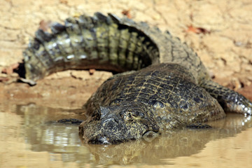 Spectacled Caiman the Water by the River Bank. Rio Claro, Pantanal, Brazil