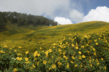 Tung Bua Tong or Mexican sunflower bloom in winter on the mountain in Thailand.