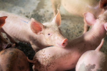 Pigs at the farm. Meat industry. Pig farming to meet the growing demand for meat in thailand and international.