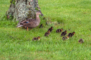 Family of wild ducks on a lush meadow