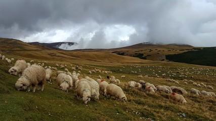 Sheep at walk