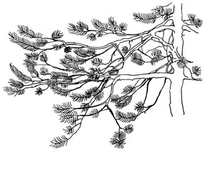 Hand drawn pine tree branch isolated on white background. Vector illustration. Black pen in vintage engraved style