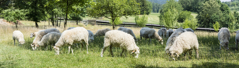 Grazing sheep on a meadow with a wooden fence in the background.