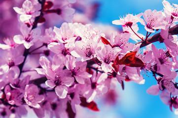 cherry plum fruits blossom