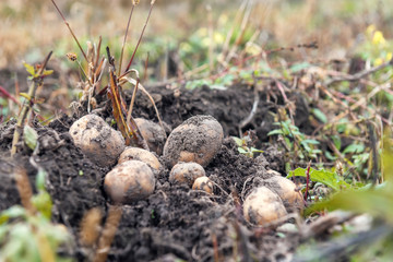 ripe raw potato in the soil