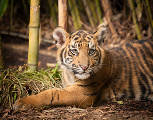 Four month old Sumatran Tiger Cub in the bamboo