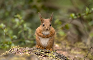 Printed kitchen splashbacks Squirrel Red Squirrel on a log in a forest looking around for food and eating nuts