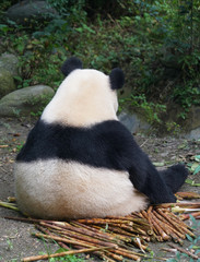 Back of giant panda sitting outdoor eating bamboo shoot