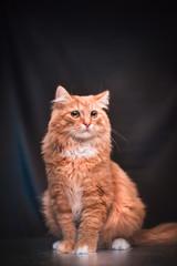 Foto op Plexiglas Kat ginger cat in studio furry awesome cool cute eyes fluffy
