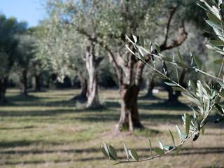 Photo sur Plexiglas Oliviers olivier oliveraie
