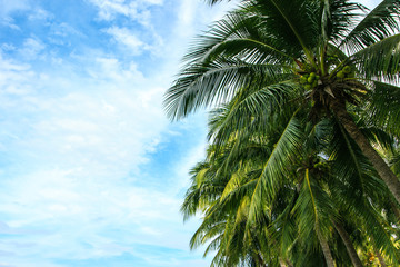 Coconut palm trees against a beautiful blue sky with copy space.