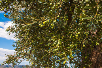 Olive Trees, with Olives on the Branches, Nature Background