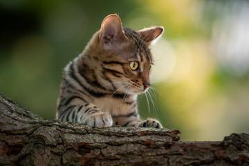 Bengal Cat in Garden