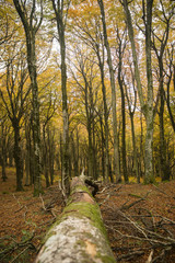 Fallen Beech tree in Autumn