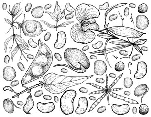 Hand Drawn of Podded Vegetables on A White Background