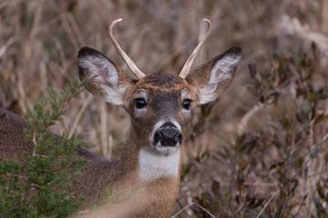 Buck on alert