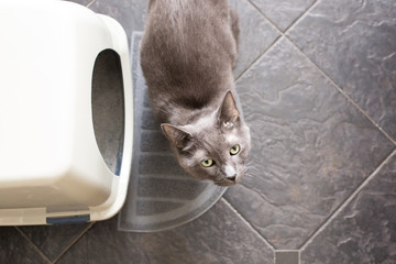 Grey cat next to litterbox looking up