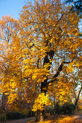 Autumn Nature View, Tree with Yelow Gold Leaves in a park on a sunny day